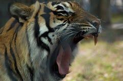 тигр зевая стоковое изображение