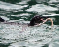 тигр змейки пингвина galapagos eel Стоковые Фото