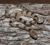 тигр змейки Стоковая Фотография