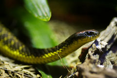 тигр змейки Стоковое Фото