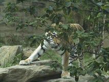 Тигр играет прятк Стоковое Изображение