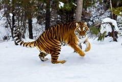 Тигр играя в снеге Стоковые Фото