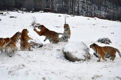 Тигр игры снега Стоковая Фотография RF