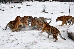 Тигр игры снега Стоковые Фото