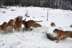 Тигр игры снега Стоковое Изображение RF