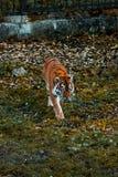 Тигр идет на траву Дикое животное стоковая фотография rf
