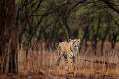 Тигр идя в тигра старого сухого леса индийский с первым дождем, одичалым животным в среду обитания природы, Ranthambore опасности стоковая фотография rf