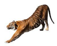 Тигр, изолированный над белизной Стоковые Изображения RF