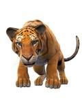 Тигр изолированный на белой предпосылке, конце вверх по взгляду Стоковые Фото