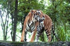 Тигр Индонезия Стоковое фото RF