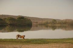 Тигр и озеро Rajbagh Стоковое Изображение