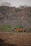 Тигр и форт Стоковая Фотография RF