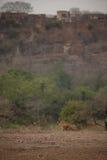 Тигр и форт Стоковое Изображение