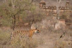 Тигр и форт Стоковые Фотографии RF