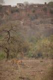 Тигр и форт Стоковые Изображения