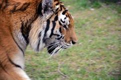 Тигр идя вокруг Стоковые Фото