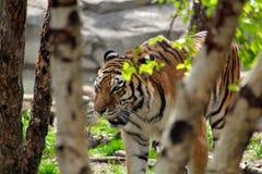 Тигр идя в древесины стоковая фотография rf