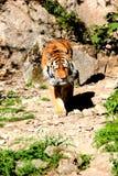 Тигр идя в утес стоковые изображения