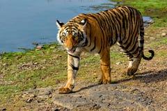 Тигр идя рядом с озером Стоковое Изображение RF