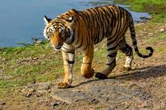 Тигр идя рядом с озером Стоковые Изображения