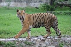 Тигр королевская Бенгалия Стоковые Изображения