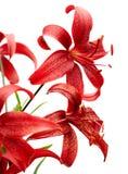тигр красного цвета лилии Стоковые Изображения
