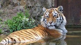 Тигр лежа в воде стоковая фотография rf