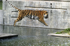 тигр летания Стоковые Фото