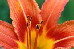 тигр лилии цветка Стоковые Изображения RF
