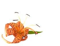 тигр лилии Стоковые Изображения RF
