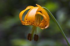 тигр лилии Стоковое Изображение RF