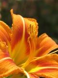 тигр лилии Стоковое Изображение