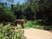 Тигр мародерствуя Стоковое Изображение