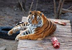 тигр мяса стоковое изображение