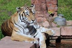 Тигр наблюдая на уступчике Стоковое Изображение RF