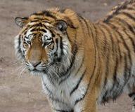 Тигр наблюдая что-то перед им Стоковое фото RF