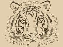 Тигр нарисованный рукой Стоковое Изображение
