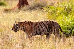 Тигр на движении Стоковое фото RF