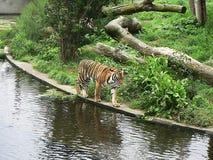 Тигр на воде Стоковые Фото