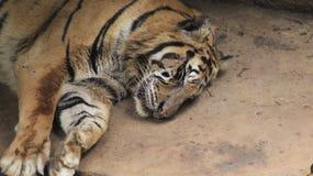 Тигр на зверинце стоковая фотография