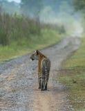 Тигр на дороге Стоковые Фотографии RF