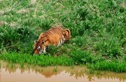 Тигр на потоке принимая питье стоковое фото rf