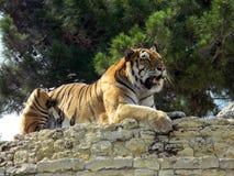 Тигр на стене Стоковые Изображения
