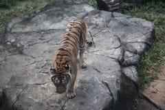 Тигр на утесе стоковая фотография rf