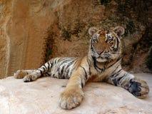 Тигр на raset Стоковое Изображение RF
