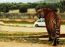 Тигр около автомобиля в зоопарке сафари Стоковые Фото