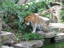 Тигр около воды Зоопарк Бельгия стоковые изображения