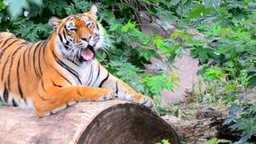 Тигр оскала сток-видео