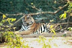 Тигр отдыхая в парке стоковые изображения rf