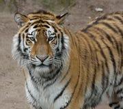 Тигр от правильной позиции Стоковые Изображения RF